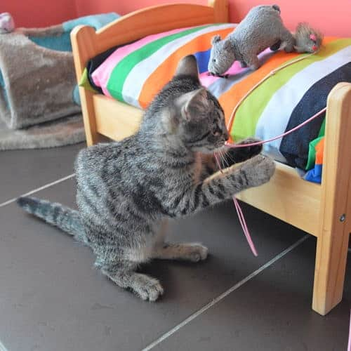 chat-joue-ficelle-lit-chambres-individuelles-pension-pour-chats-montpellier-herault